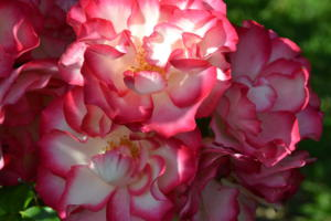 Norwich Rose Garden